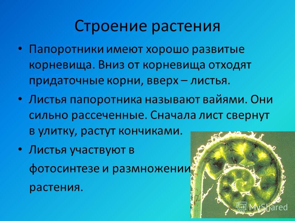 Строение растения Папоротники имеют хорошо развитые корневища. Вниз от корневища отходят придаточные корни, вверх – листья. Листья папоротника называют вайями. Они сильно рассеченные. Сначала лист свернут в улитку, растут кончиками. Листья участвуют