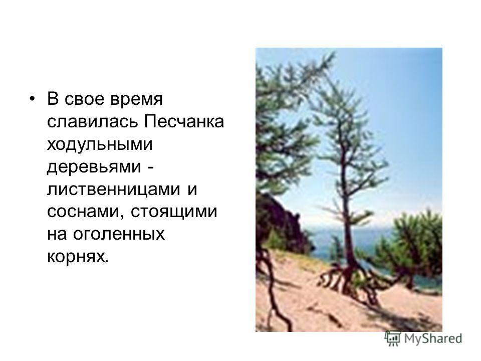 В свое время славилась Песчанка ходульными деревьями - лиственницами и соснами, стоящими на оголенных корнях.