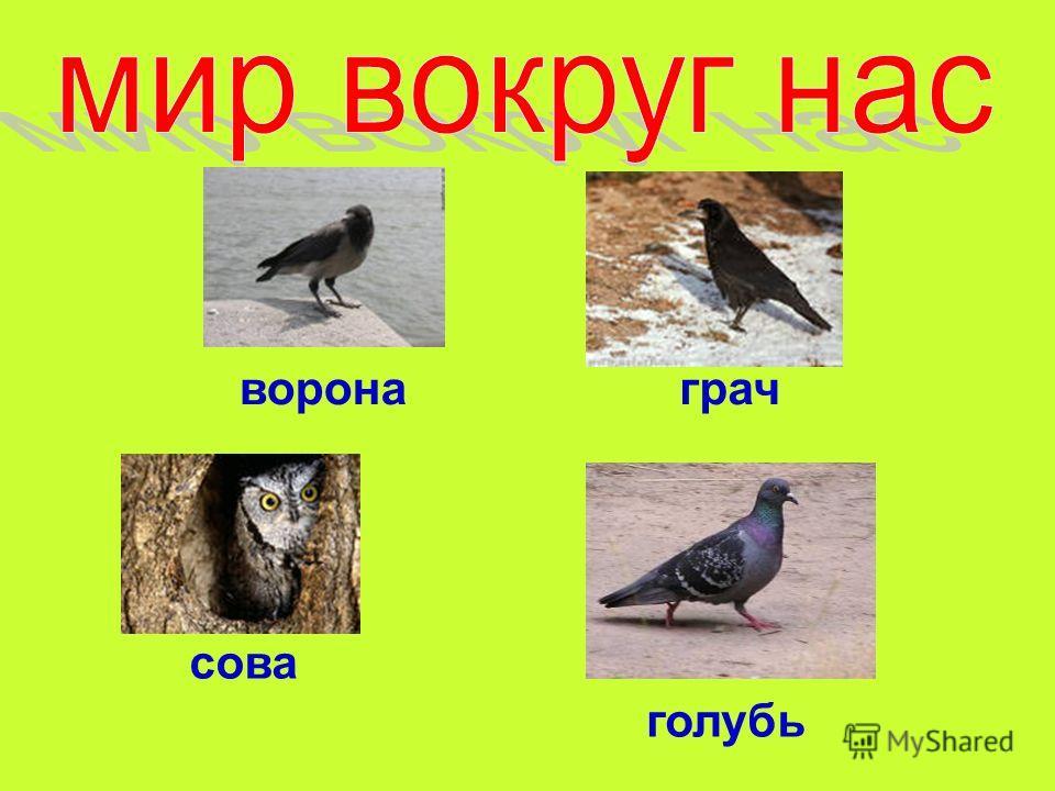 ворона сова грач голубь