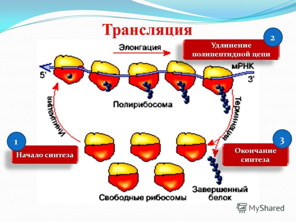 Трансляция Начало синтеза Удлинение полипептидной цепи 2 1 Окончание синтеза 3