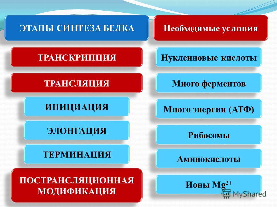 ЭТАПЫ СИНТЕЗА БЕЛКА ТРАНСКРИПЦИЯ ТРАНСЛЯЦИЯ ПОСТРАНСЛЯЦИОННАЯ МОДИФИКАЦИЯ ИНИЦИАЦИЯ ЭЛОНГАЦИЯТЕРМИНАЦИЯ Необходимые условия Нуклеиновые кислоты Много ферментов Много энергии (АТФ) Рибосомы Аминокислоты Ионы Mg 2+