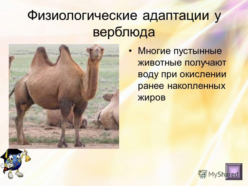 Физиологические адаптации у верблюда Многие пустынные животные получают воду при окислении ранее накопленных жиров