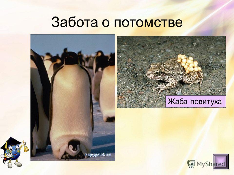 Забота о потомстве Жаба повитуха