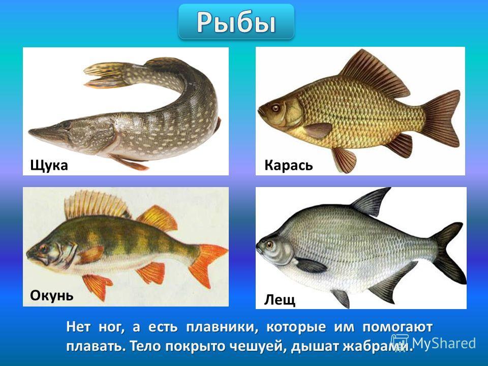 Нет ног, а есть плавники, которые им помогают плавать. Тело покрыто чешуей, дышат жабрами. Щука Карась Окунь Лещ