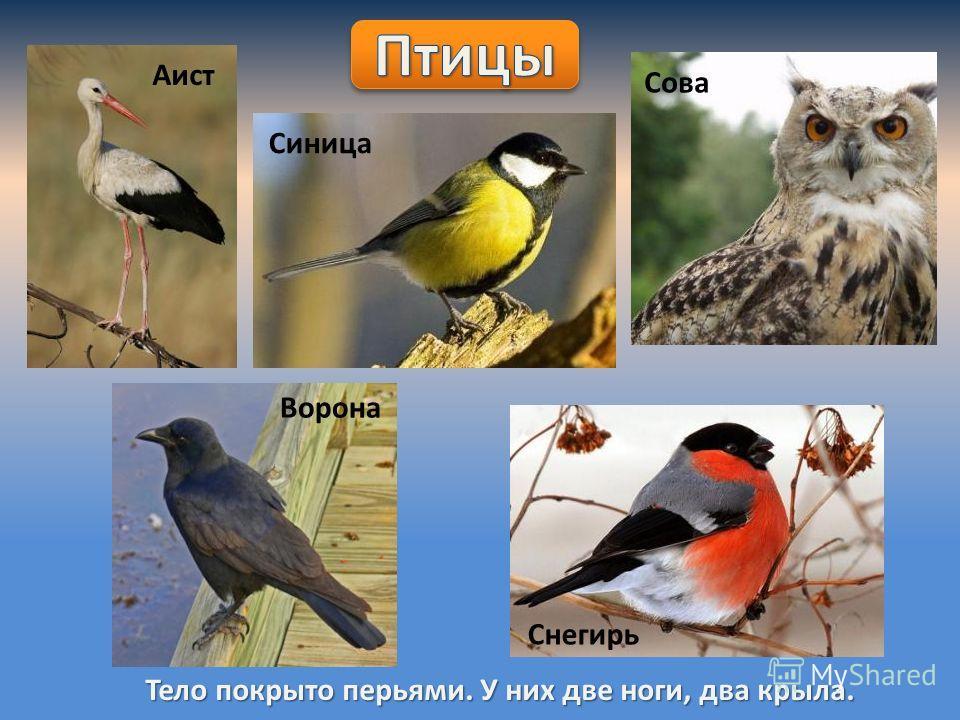Тело покрыто перьями. У них две ноги, два крыла. Аист Синица Сова Ворона Снегирь