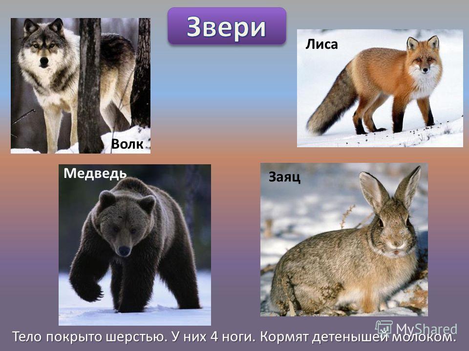 Тело покрыто шерстью. У них 4 ноги. Кормят детенышей молоком. Волк Лиса Медведь Заяц