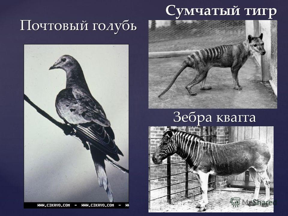 Зебра квагга Сумчатый тигр Почтовый голубь