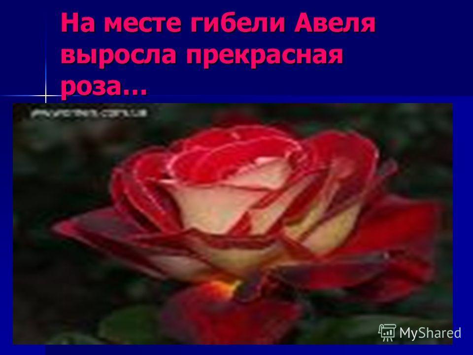 На месте гибели Авеля выросла прекрасная роза…