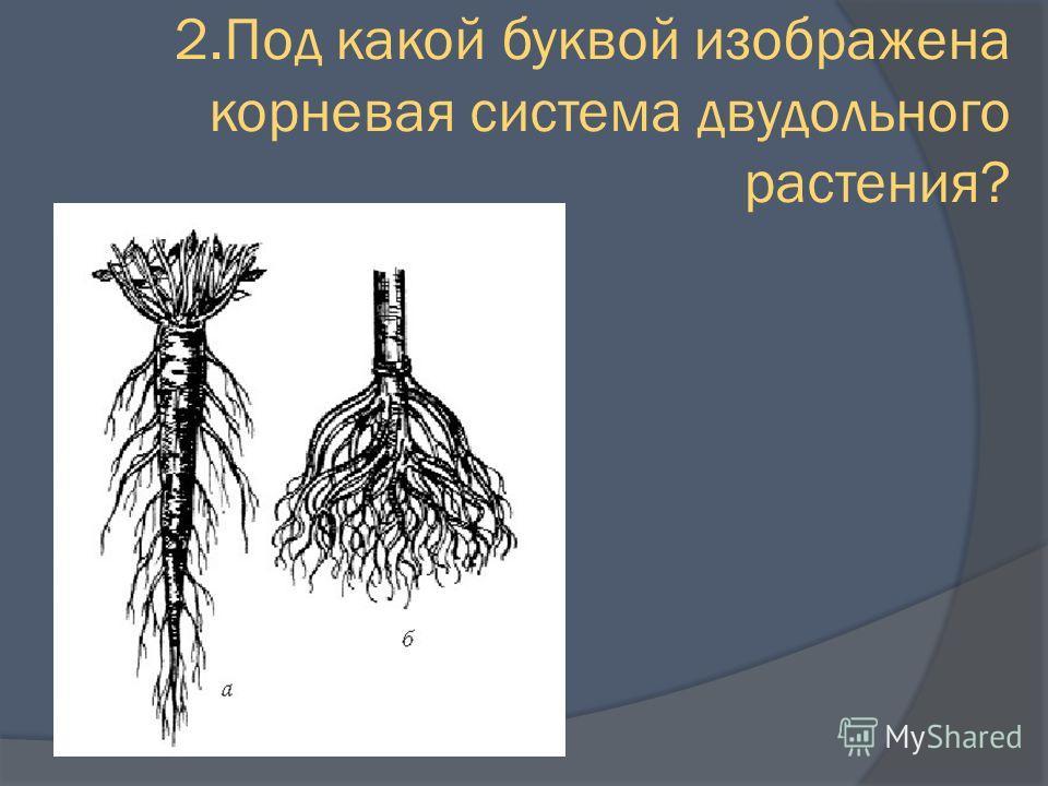 2. Под какой буквой изображена корневая система двудольного растения?