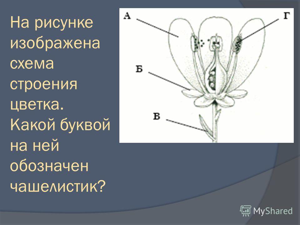 На рисунке изображена схема строения цветка. Какой буквой на ней обозначен чашелистик?