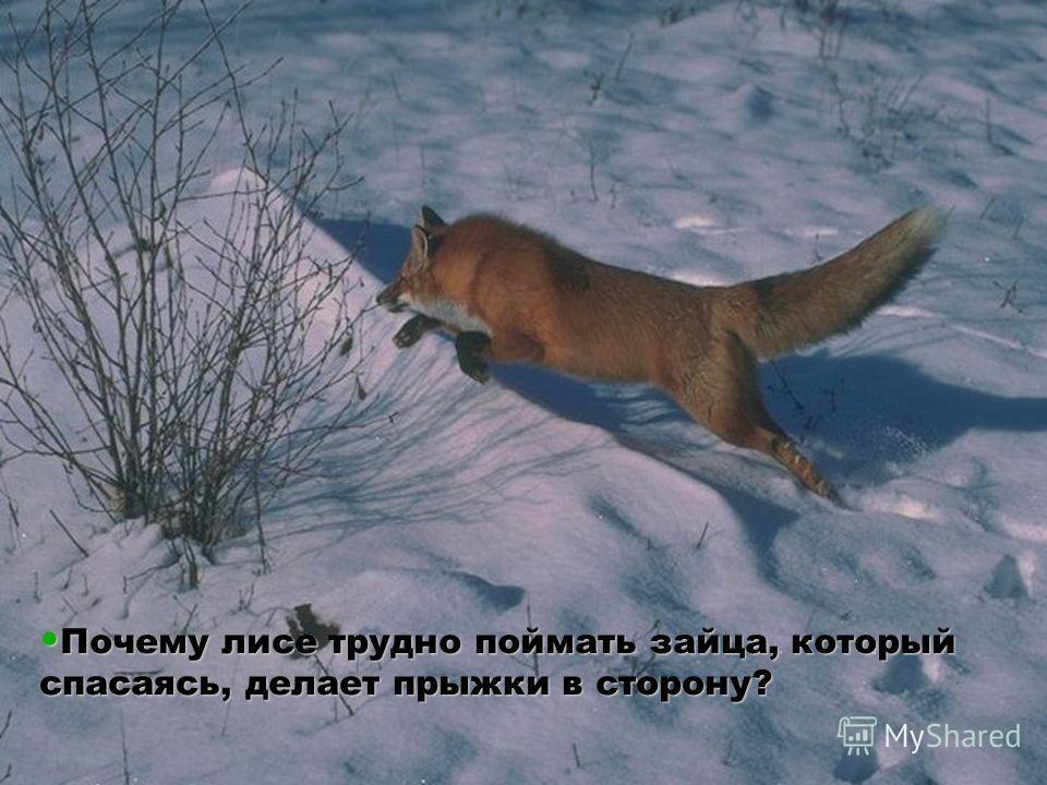 Почему лисе трудно поймать зайца, который спасаясь, делает прыжки в сторону? Почему лисе трудно поймать зайца, который спасаясь, делает прыжки в сторону?