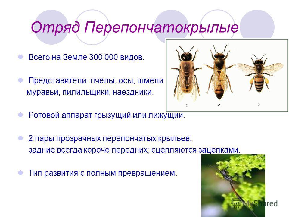 Отряд Перепончатокрылые Всего на Земле 300 000 видов. Представители- пчелы, осы, шмели муравьи, пилильщики, наездники. Ротовой аппарат грызущий или лижущий. 2 пары прозрачных перепончатых крыльев; задние всегда короче передних; сцепляются зацепками.
