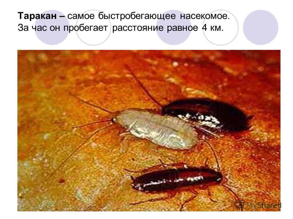 Таракан – самое быстробегающее насекомое. За час он пробегает расстояние равное 4 км.