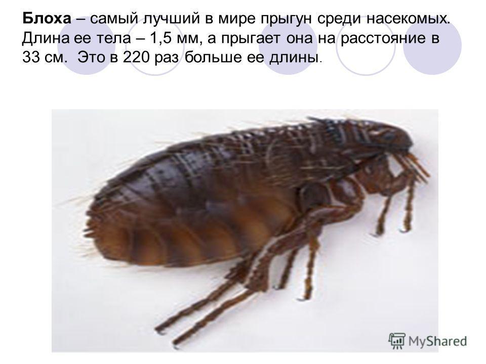 Блоха – самый лучший в мире прыгун среди насекомых. Длина ее тела – 1,5 мм, а прыгает она на расстояние в 33 см. Это в 220 раз больше ее длины.