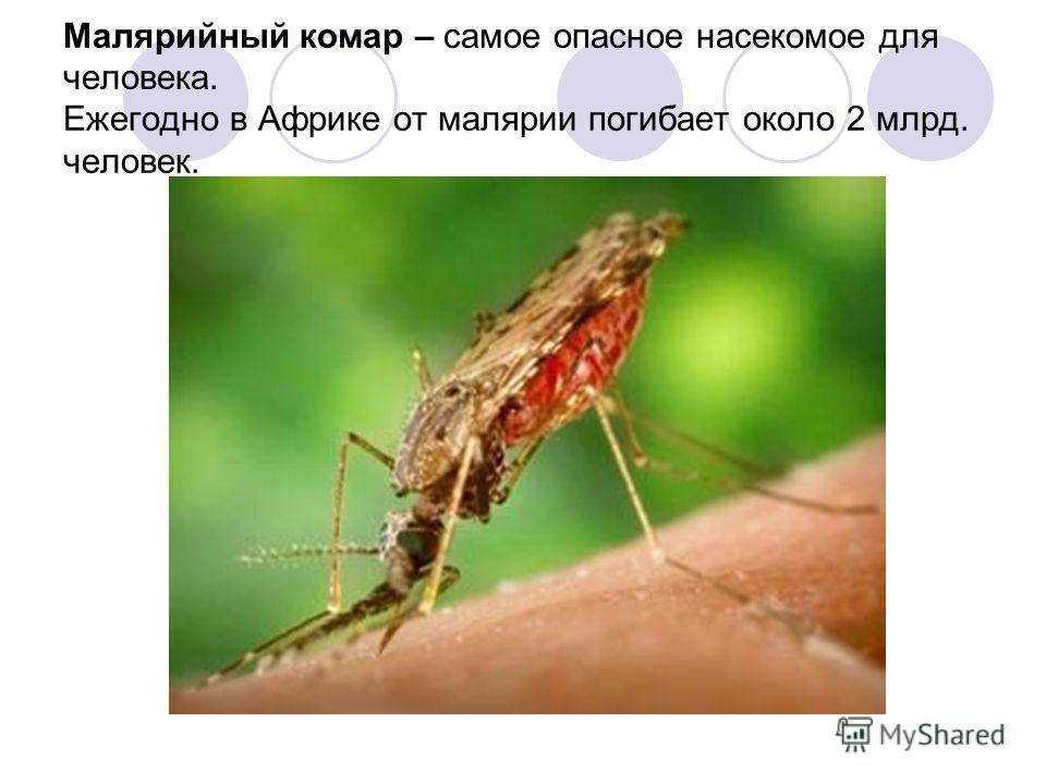 Малярийный комар – самое опасное насекомое для человека. Ежегодно в Африке от малярии погибает около 2 млрд. человек.