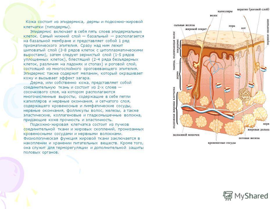 Кожа состоит из эпидермиса, дермы и подкожно-жировой клетчатки (гиподермы). Эпидермис включает в себя пять слоев эпидермальных клеток. Самый нижний слой базальный располагается на базальной мембране и представляет собой 1 ряд призматического эпителия