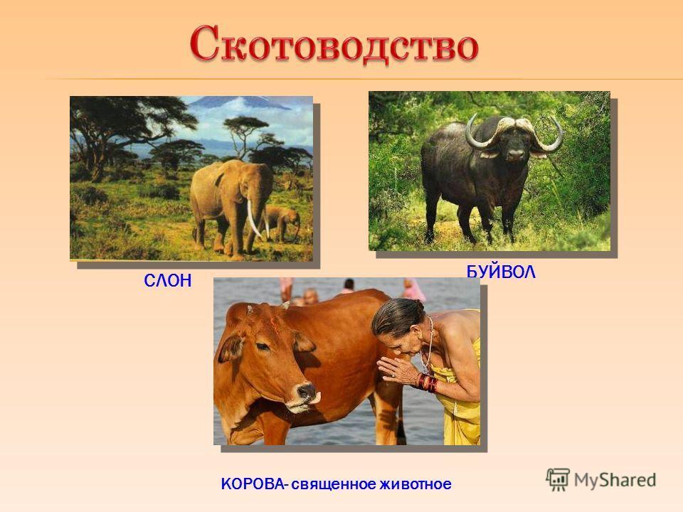 СЛОН БУЙВОЛ КОРОВА- священное животное