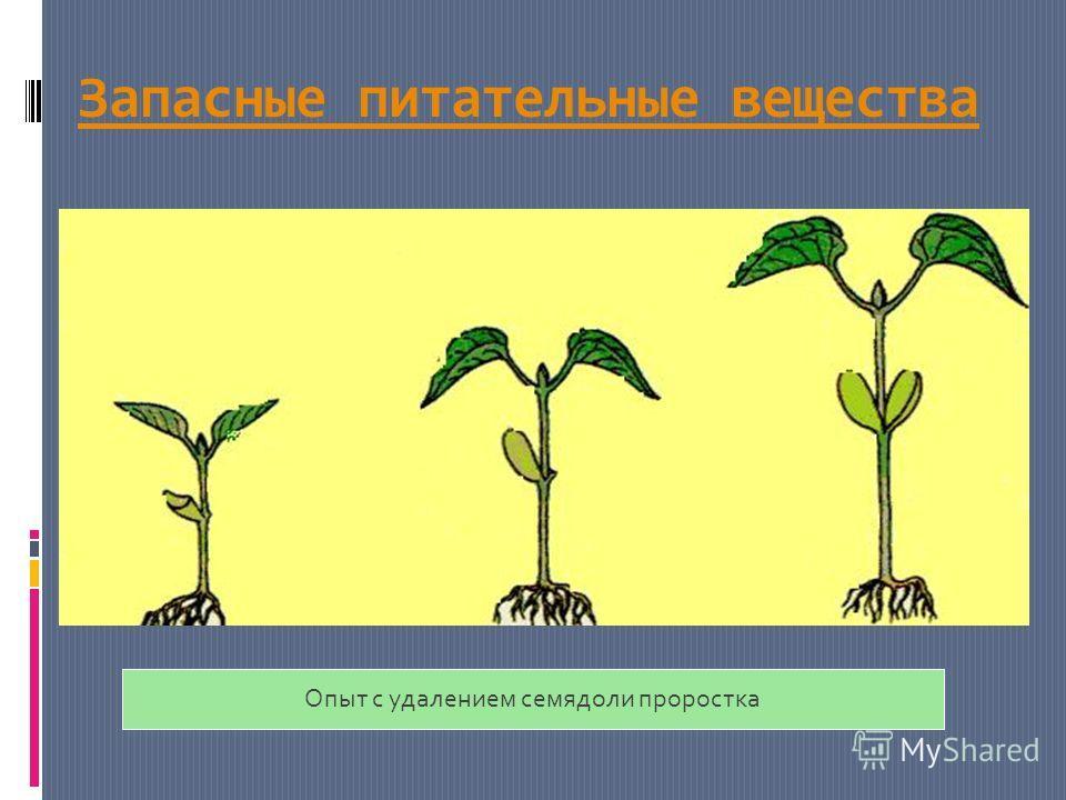 Запасные питательные вещества Опыт с удалением семядоли проростка