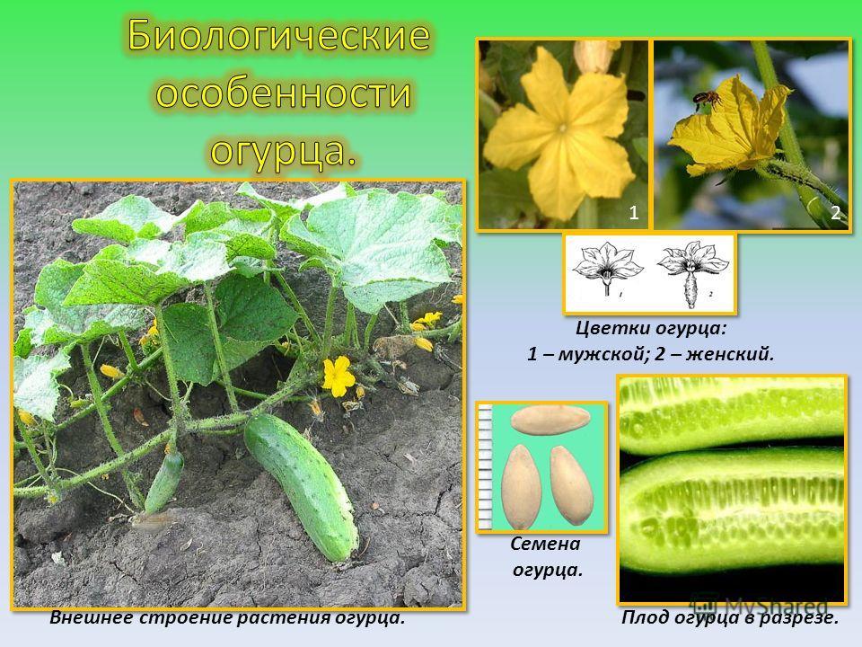 12 Цветки огурца: 1 – мужской; 2 – женский. Внешнее строение растения огурца. Семена огурца. Плод огурца в разрезе.