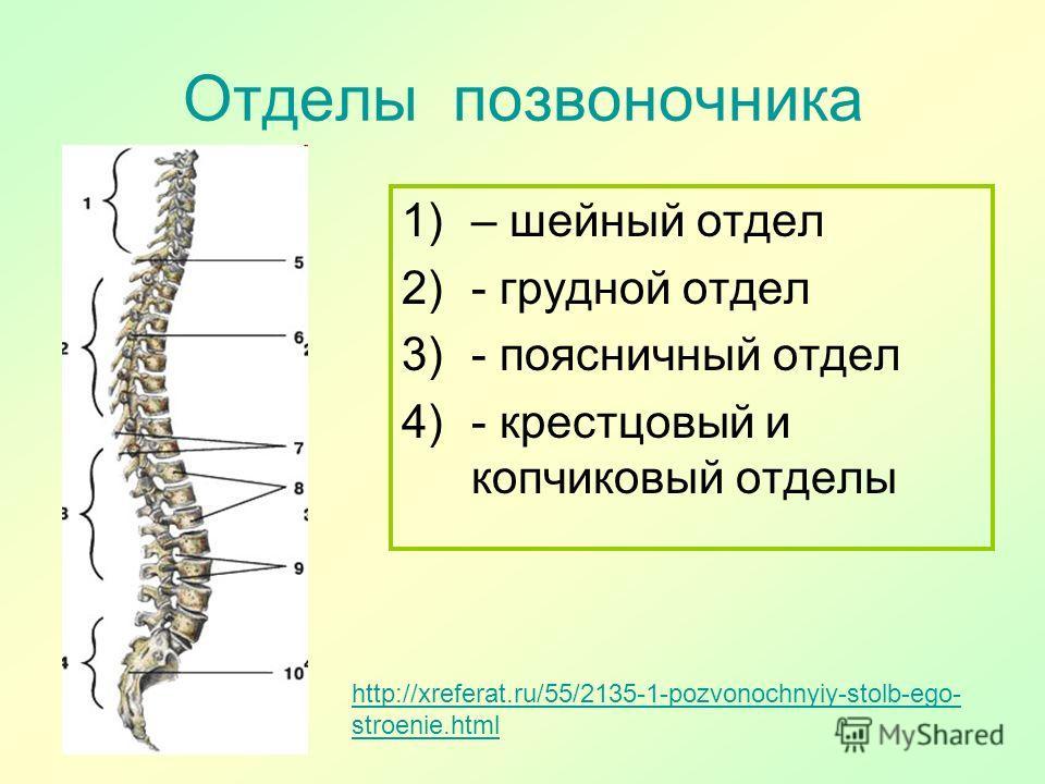 Отделы позвоночника http://xreferat.ru/55/2135-1-pozvonochnyiy-stolb-ego- stroenie.html 1)– шейный отдел 2)- грудной отдел 3)- поясничный отдел 4)- крестцовый и копчиковый отделы