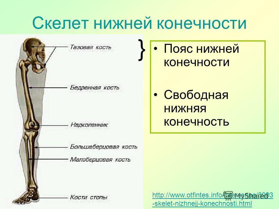 Скелет нижней конечности http://www.otfintes.info/interesnoe/3993 -skelet-nizhnejj-konechnosti.html Пояс нижней конечности Свободная нижняя конечность }