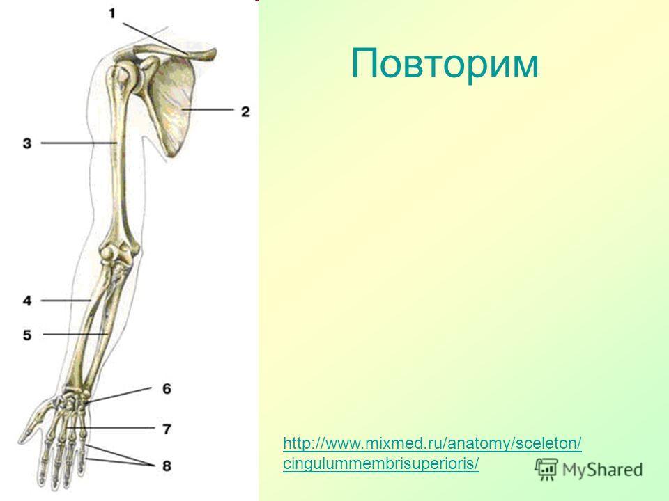 Повторим http://www.mixmed.ru/anatomy/sceleton/ cingulummembrisuperioris/
