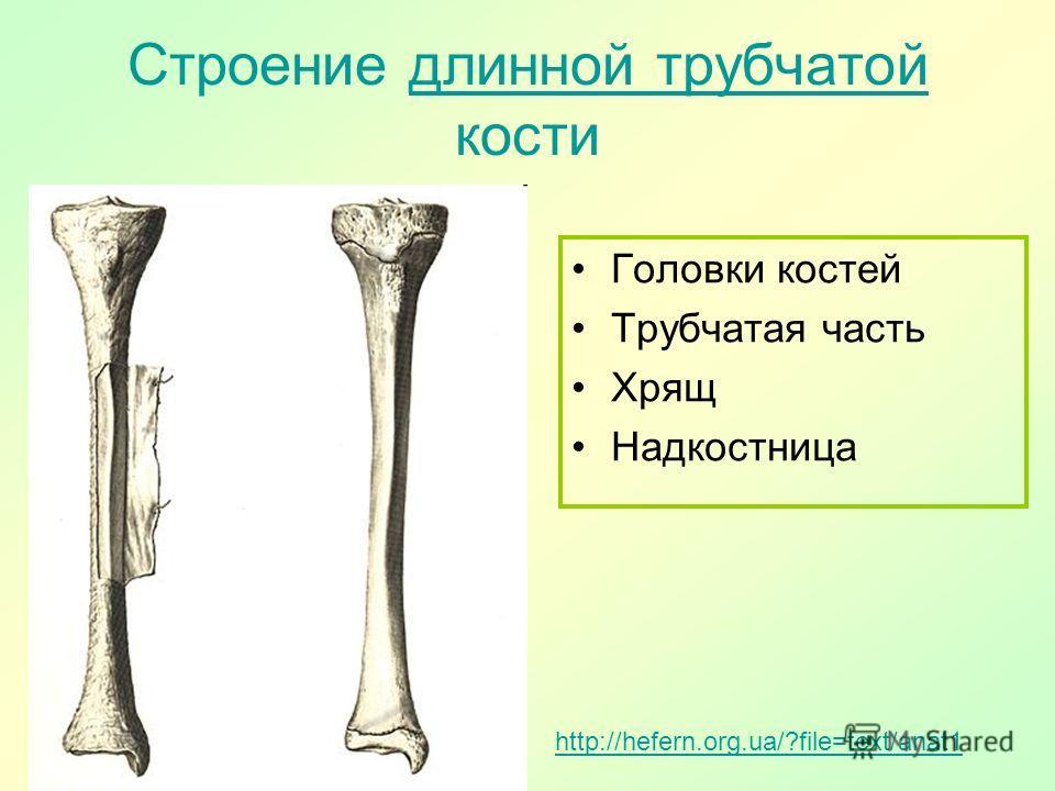 Строение длинной трубчатой кости длинной трубчатой Головки костей Трубчатая часть Хрящ Надкостница http://hefern.org.ua/?file=text/anat1