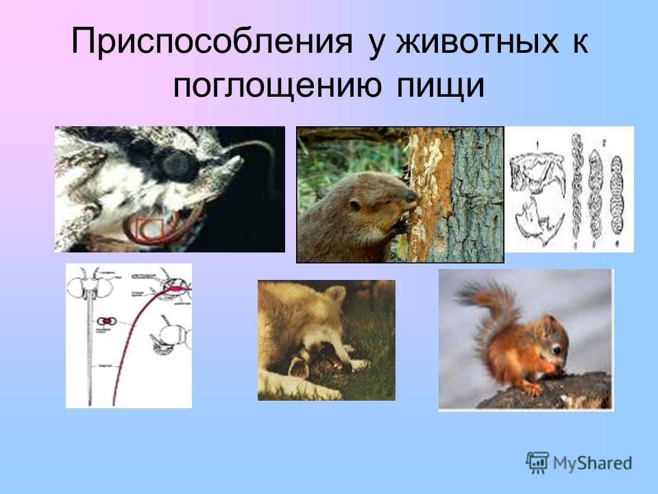 Приспособления у животных к поглощению пищи