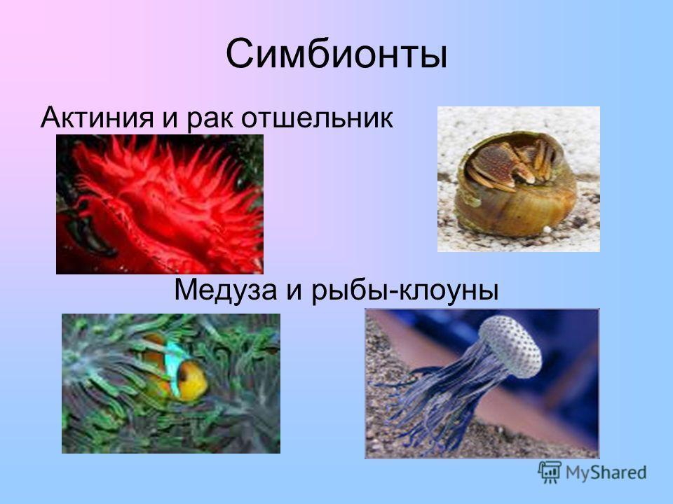 Симбионты Актиния и рак отшельник Медуза и рыбы-клоуны