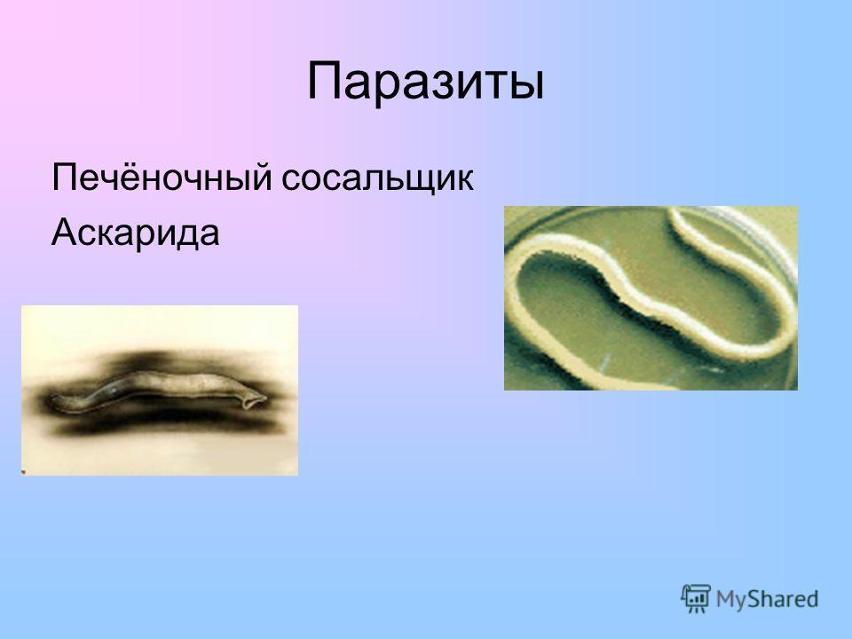 Паразиты Печёночный сосальщик Аскарида
