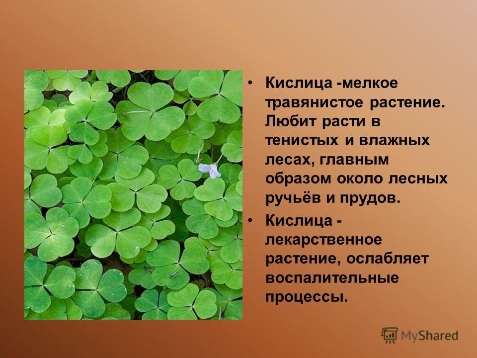 Кислица -мелкое травянистое растение. Любит расти в тенистых и влажных лесах, главным образом около лесных ручьёв и прудов. Кислица - лекарственное растение, ослабляет воспалительные процессы.