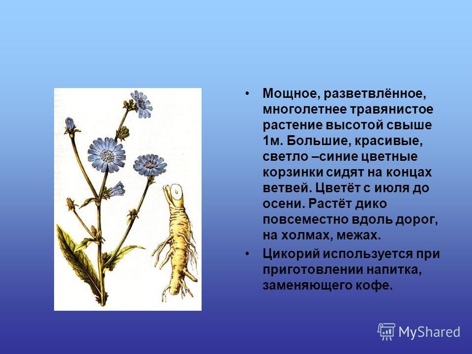 Мощное, разветвлённое, многолетнее травянистое растение высотой свыше 1 м. Большие, красивые, светло –синие цветные корзинки сидят на концах ветвей. Цветёт с июля до осени. Растёт дико повсеместно вдоль дорог, на холмах, межах. Цикорий используется п