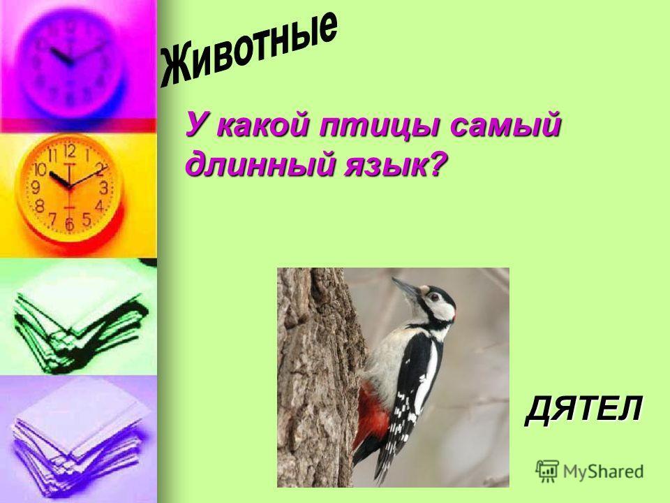 У какой птицы самый длинный язык? ДЯТЕЛ