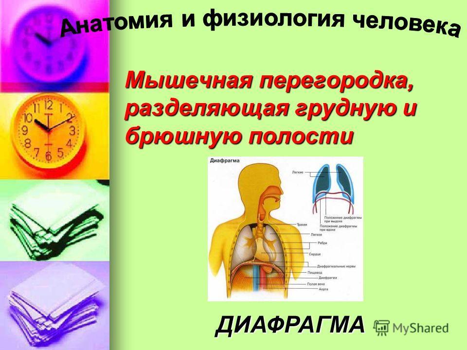 Мышечная перегородка, разделяющая грудную и брюшную полости ДИАФРАГМА