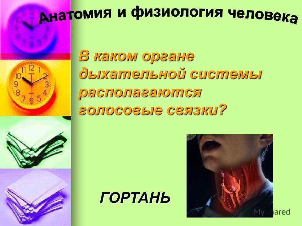 В каком органе дыхательной системы располагаются голосовые связки? ГОРТАНЬ