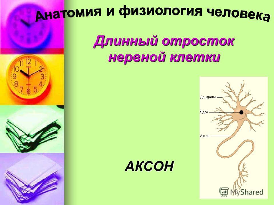 Длинный отросток нервной клетки АКСОН