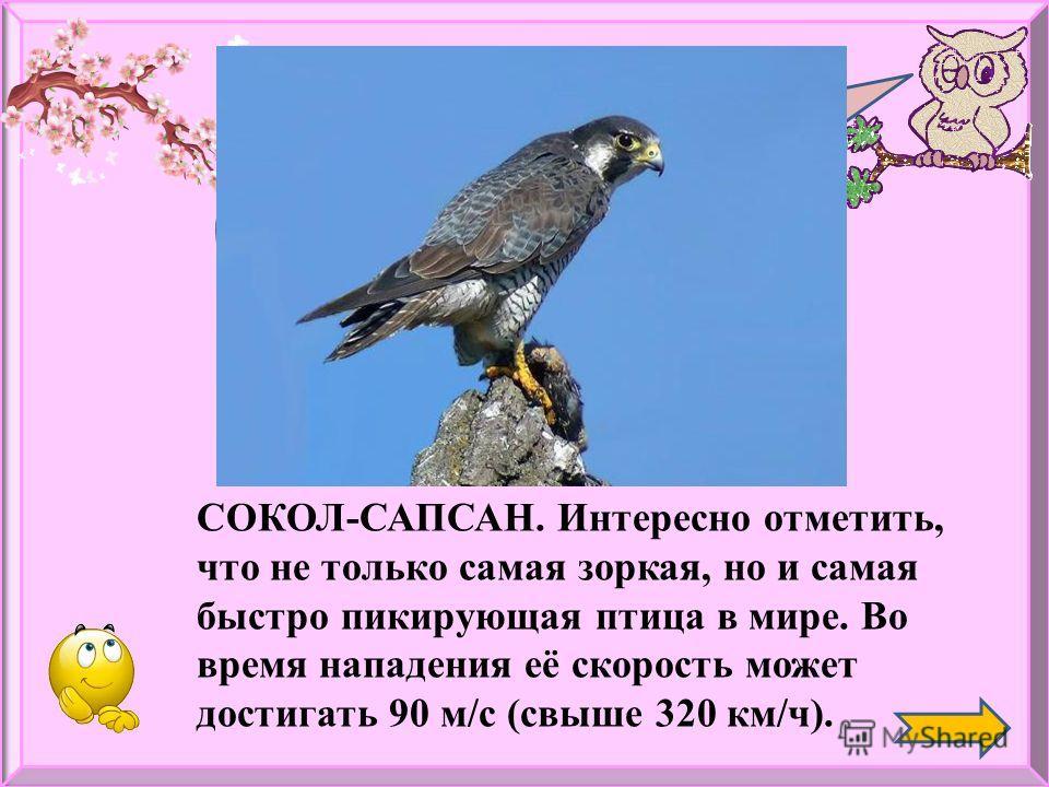 Какая птица самая зоркая? СОКОЛ-САПСАН. Интересно отметить, что не только самая зоркая, но и самая быстро пикирующая птица в мире. Во время нападения её скорость может достигать 90 м/с (свыше 320 км/ч).