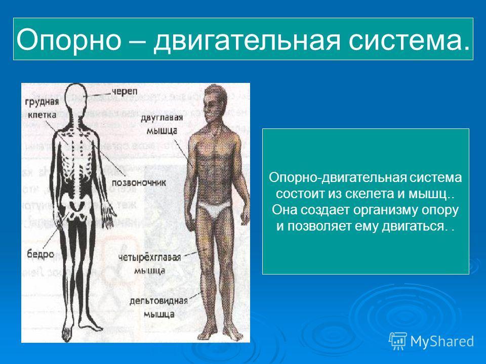 Как устроен организм человека? Любой организм состоит из органов. Группу органов, связанных друг с другом и совместно выполняющих общую задачу в организме, называют системой органов. Любой организм состоит из органов. Группу органов, связанных друг с