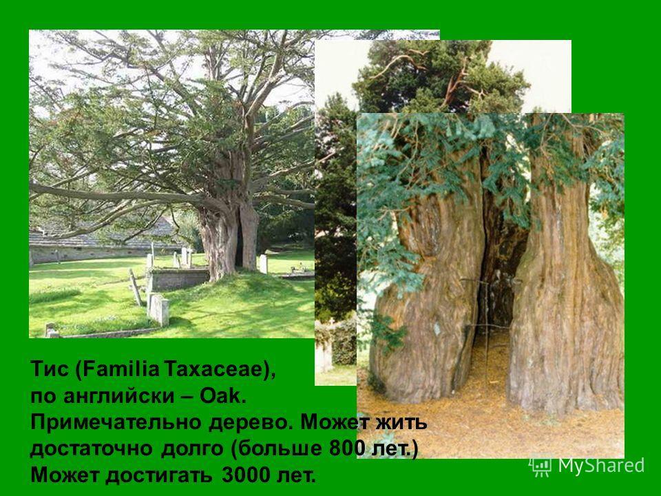 Тис (Familia Taxaceae), по английски – Oak. Примечательно дерево. Может жить достаточно долго (больше 800 лет.) Может достигать 3000 лет.
