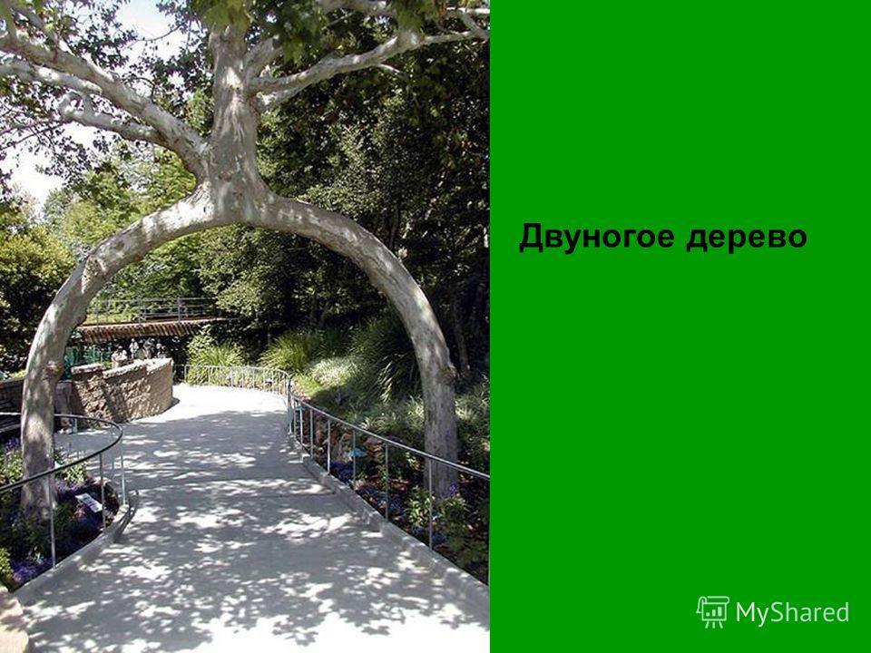 Двуногое дерево