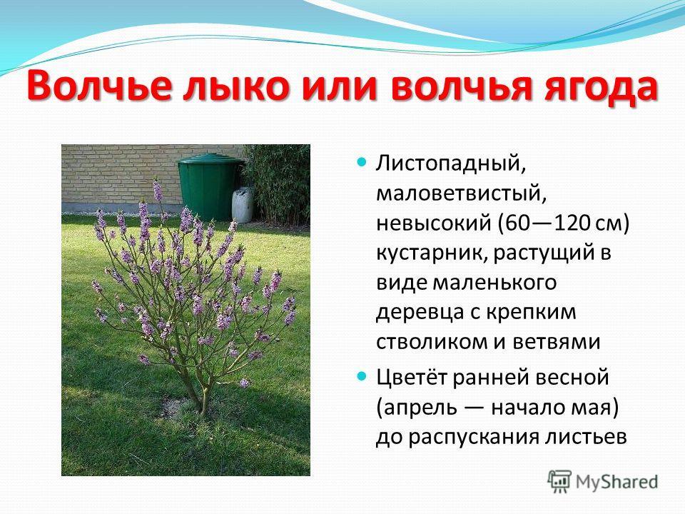Волчье лыко или волчья ягода Листопадный, маловетвистый, невысокий (60120 см) кустарник, растущий в виде маленького деревца с крепким стволиком и ветвями Цветёт ранней весной (апрель начало мая) до распускания листьев