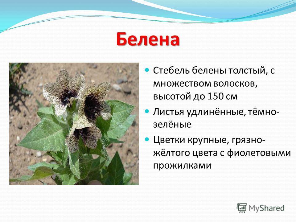 Белена Стебель белены толстый, с множеством волосков, высотой до 150 см Листья удлинённые, тёмно- зелёные Цветки крупные, грязно- жёлтого цвета с фиолетовыми прожилками