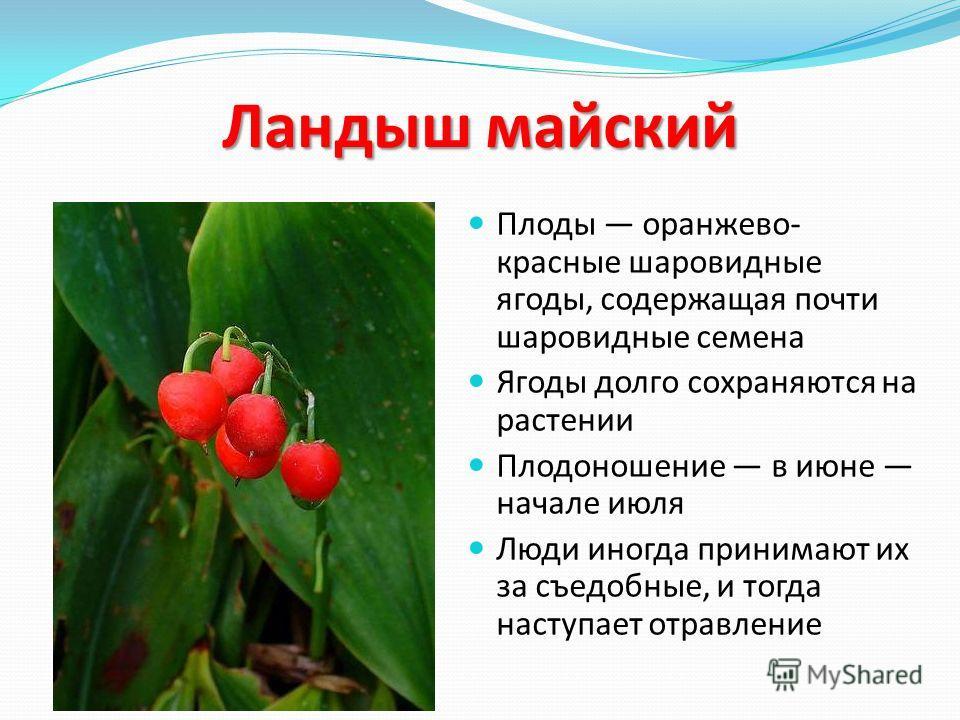 Ландыш майский Плоды оранжево- красные шаровидные ягоды, содержащая почти шаровидные семена Ягоды долго сохраняются на растении Плодоношение в июне начале июля Люди иногда принимают их за съедобные, и тогда наступает отравление