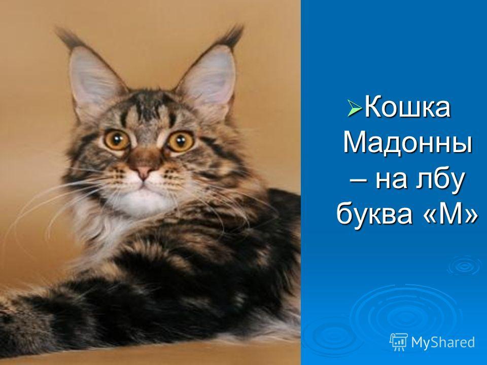 Кошка Мадонны – на лбу буква «М» Кошка Мадонны – на лбу буква «М»