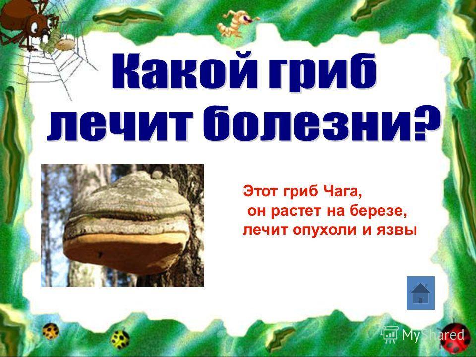 Этот гриб Чага, он растет на березе, лечит опухоли и язвы