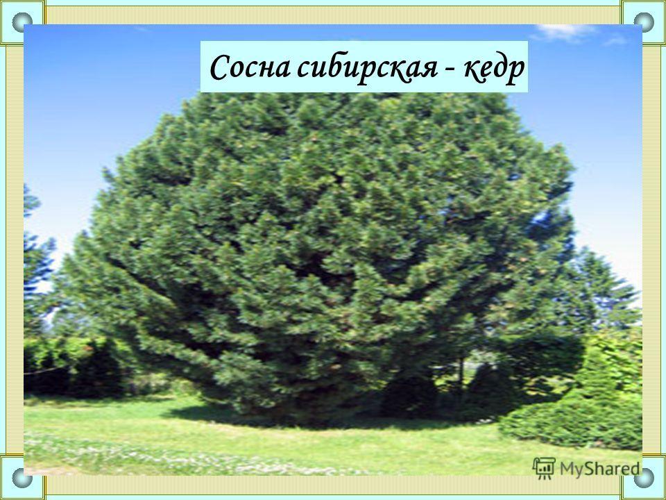 Сосна сибирская - кедр