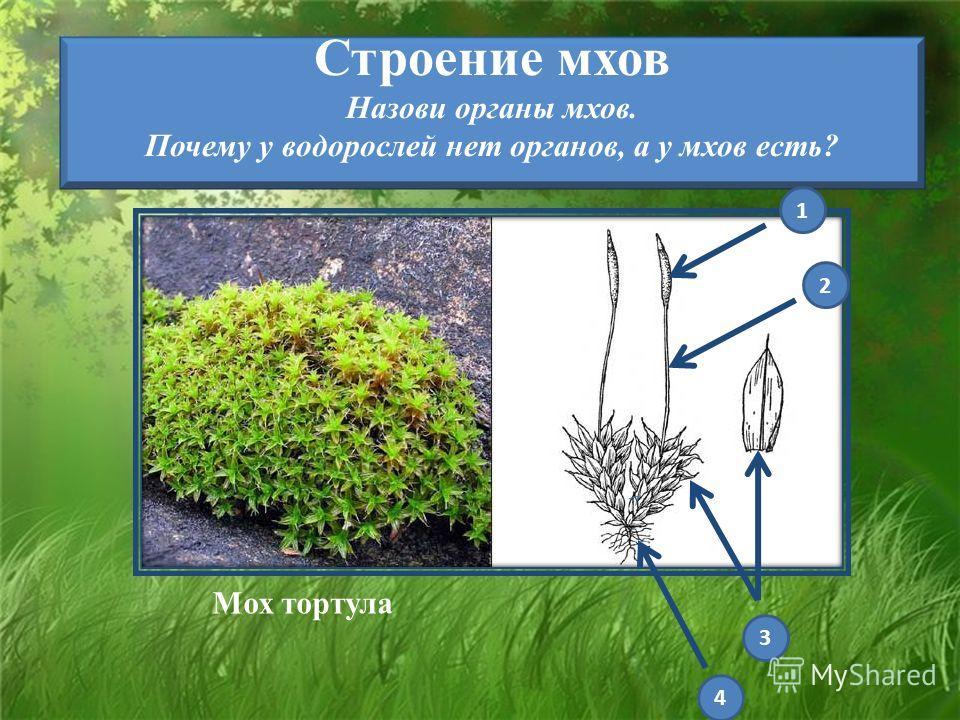 Строение мхов Назови органы мхов. Почему у водорослей нет органов, а у мхов есть? Мох тортуга 1 2 3 4