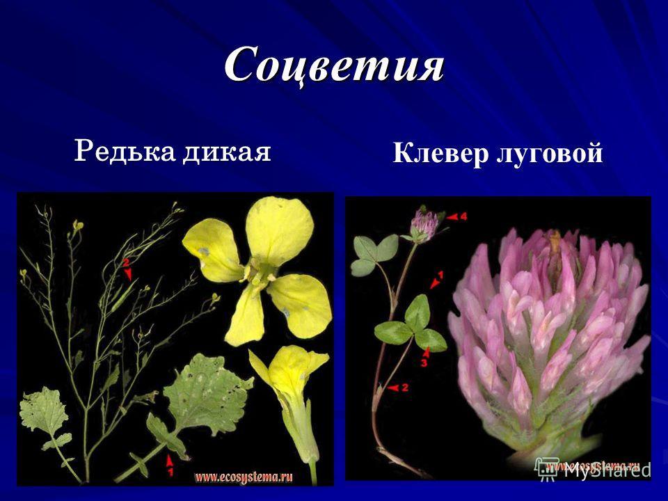 Соцветия Редька дикая Клевер луговой