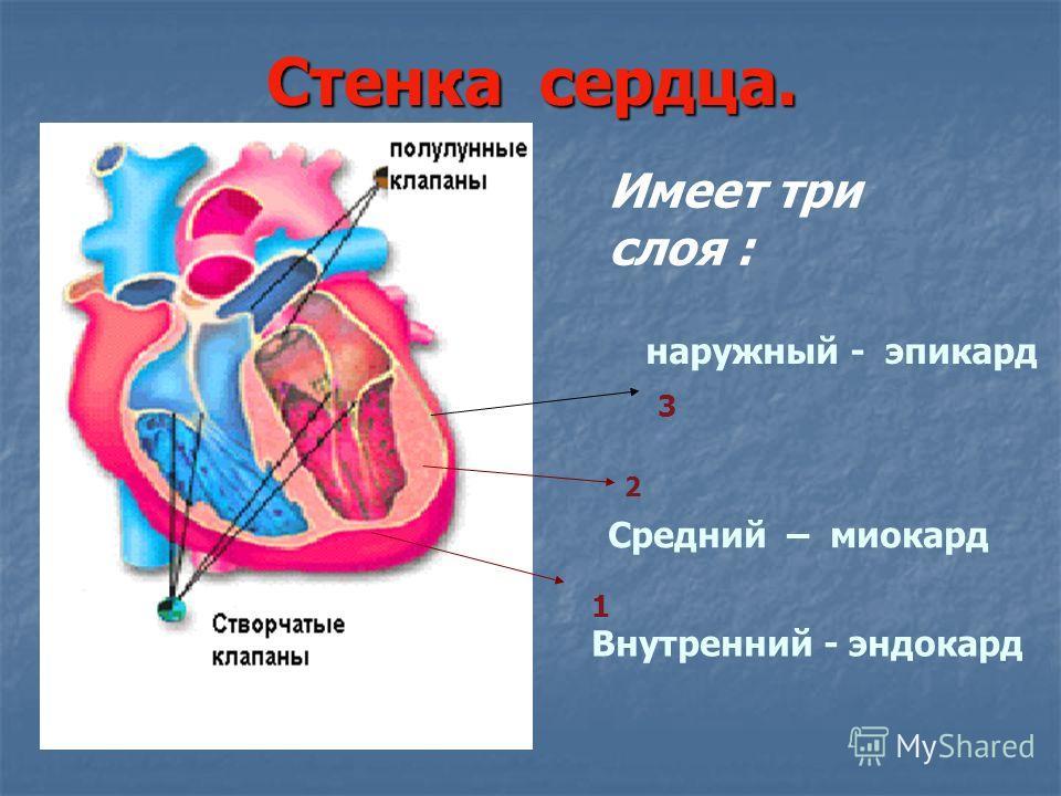 Стенка сердца. 1 2 3 Внутренний - эндокард Средний – миокард наружный - эпикард Имеет три слоя :