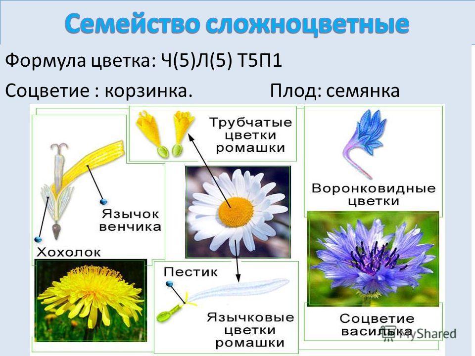 Формула цветка: Ч(5)Л(5) Т5П1 Соцветие : корзинка. Плод: семянка